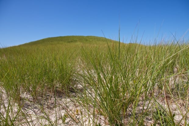 Sable Island marram grass