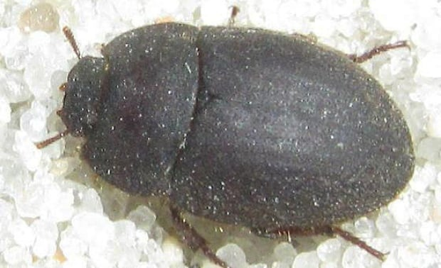 Ephalus latimanus darkling beetle Sable Island