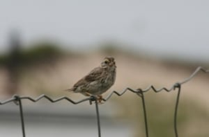 Ipswich sparrow on Sable Island