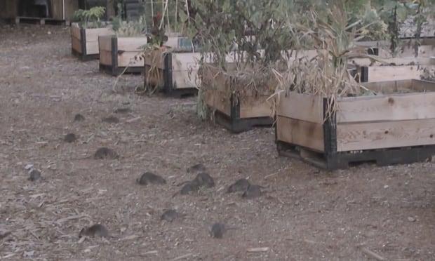 Rats overrun community garden in Vancouver