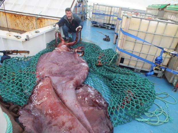Colossal squid the size of a minibus examined by scientists ...