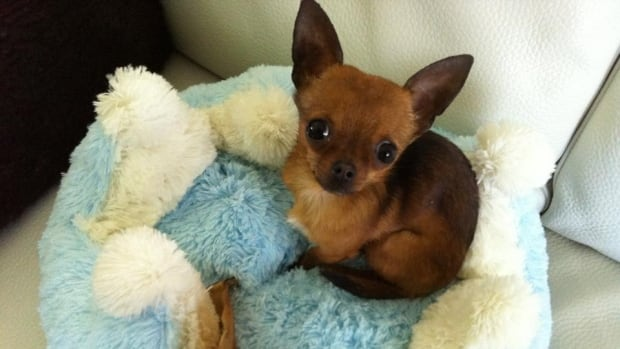 Mister Albert, a chihuahua, was rushed to the vet by his owners, who were stopped en route by a police officer.