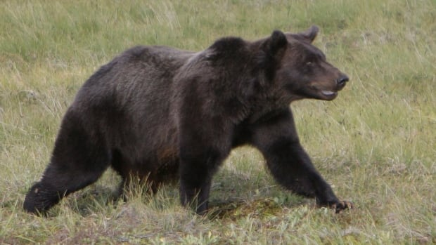 A grizzly bear travels across the Porcupine River tundra in Yukon in 2009. N.W.T. wildlife officials are heading to the Mackenzie Mountains Friday to search for the grizzly bear that killed an American hunter on Wednesday.