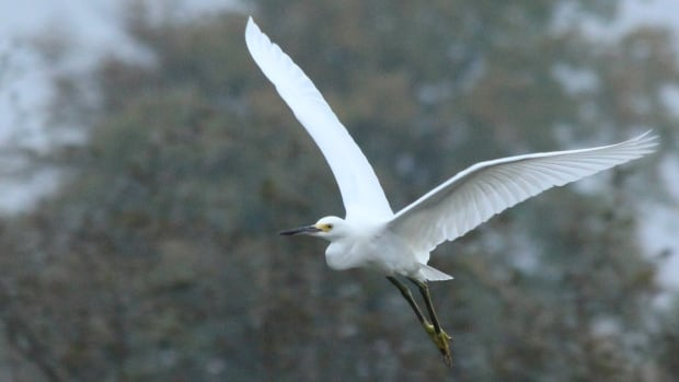 A rare sighting of snowy egret in the Kitchener-Waterloo Region. A local naturalist club has come under scrutiny by the Canada Revenue Agency for paying too much attention to politics and not enough to wildlife.