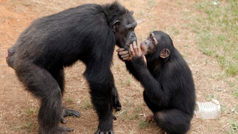 Why chimps kill other ...