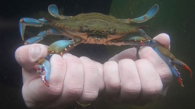 The mighty blue crab may be key to defending the water from green crab.