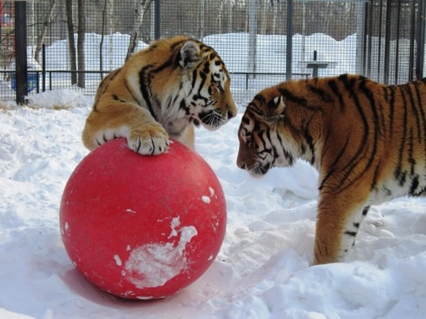 Samkha and Vasili tigers Winnipeg zoo