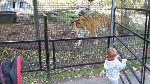 Baikal tiger Winnipeg