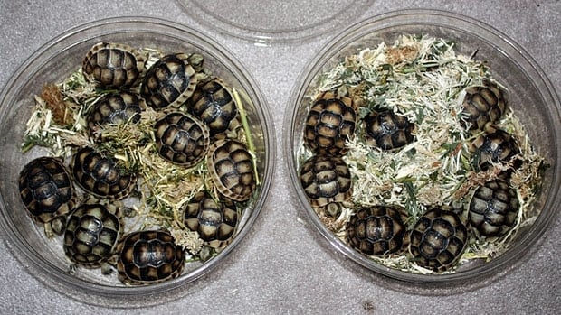A man was also charged in 2013 for allegedly attempting to smuggle 70 turtles into Canada. The turtles above were found in that incident. Officers claimed they discovered two boxes containing live turtles and tortoises hidden within a storage compartment normally used for stowing a vehicle's seats.