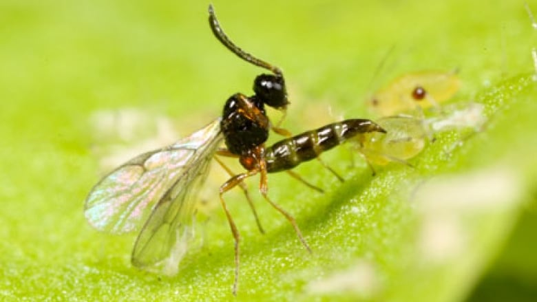 Montreal uses wasps to fight aphids | CBC News