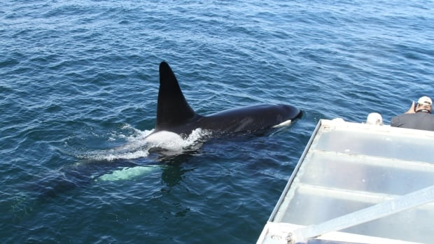 Killer whales are the largest member of the dolphin family and are easily recognized by their distinctive black and white markings and giant dorsal fin. Adult males may reach lengths of eight to nine metres and weigh up to five tonnes.