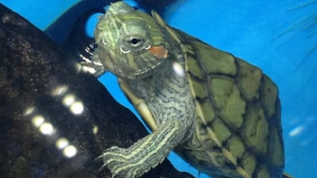 Steve Mark, who used to work with the province's parks department, says nine times out of 10, a turtle being sold in Canada was illegally acquired somewhere along the line.