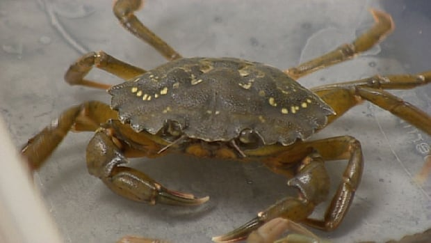Not knowing when green crabs moult has been a barrier to creating a food fishery.