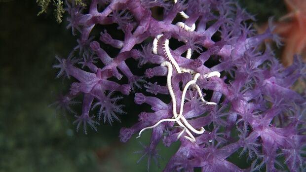 Seamount corals and brittle stars