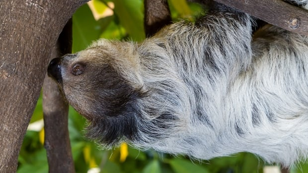 The Biodome has 5 two-toed sloths, four of which are female.