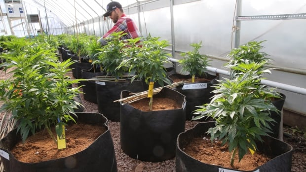 A worker cultivates a special strain of medical marijuana known as Charlotte's Web inside a greenhouse, in a remote spot in the mountains west of Colorado Springs, Colo. Utah will begin issuing registration cards Tuesday, July 8, 2014, for its limited medical marijuana program targeting adults and children with severe epilepsy.