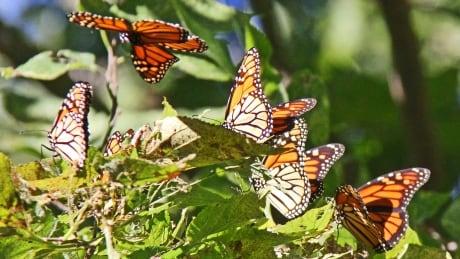 Monarch Butterflies Point Pelee