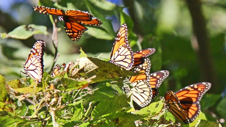 'Good start' to monarch season at Point Pelee