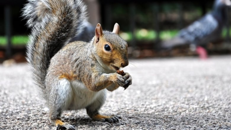 Ontario City Using Cayenne Pepper To Deter Hungry Squirrels Cbc News