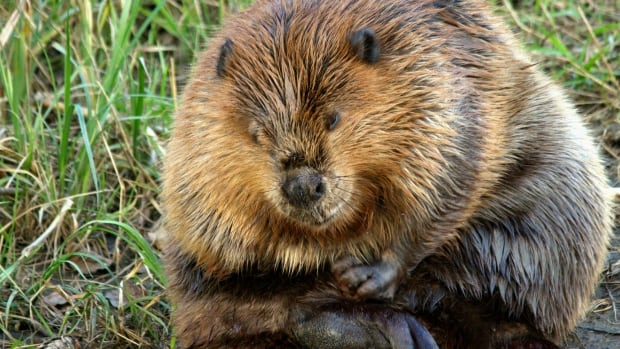 A beaver appears to be missing a paw from a trapping mishap in Fish Creek Provincial Park.