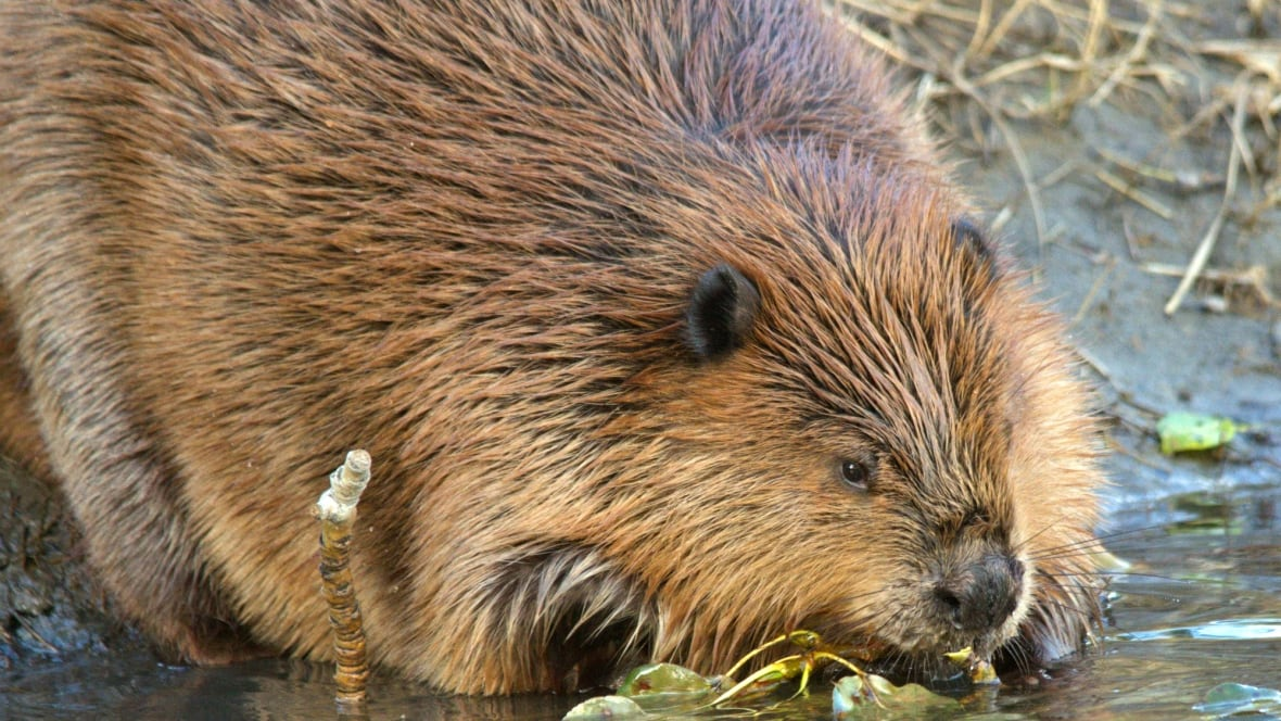 New Ancient Beaver Species Discovered In Oregon Technology Amp Science Cbc News