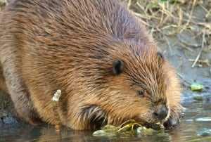 Fish Creek Beaver