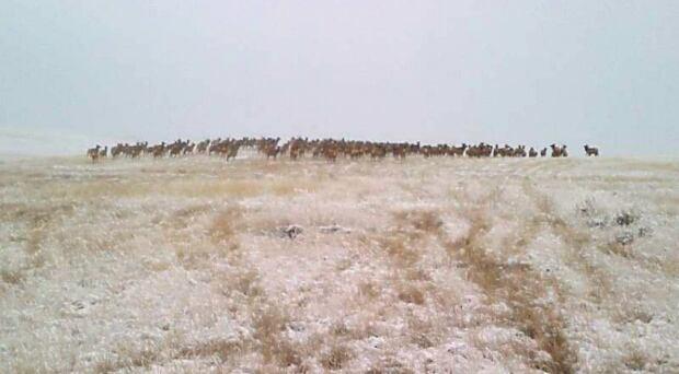Suffield elk