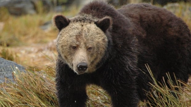 Based on the last count in 2008, Parks Canada estimates there are about 60 grizzlies in Banff.