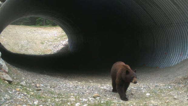 Researchers with Parks Canada got a surprise while sorting through remote camera images when they found camera footage of the first black bear using a wildlife crossing.