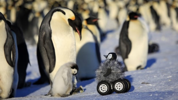 The remote-controlled roving camera camouflaged as a penguin chick in action in Adelie Land, Antarctica. The device is so convincing that penguins don't scamper away and sometimes even sing to it with trumpet-like sounds.