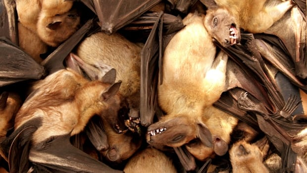 Fruit bats are seen for sale at a food market in Brazzaville, Republic of Congo, in central Africa, in 2005.  Bats are also a traditional source of protein in West Africa, the area stricken by the current Ebola outbreak.