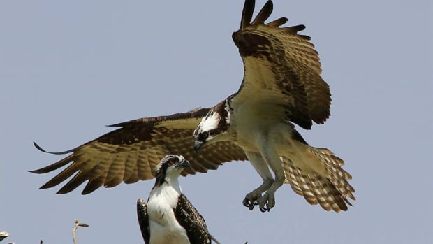 A breeding pair of osprey photographed in the summer of 2012 in Manitoba.