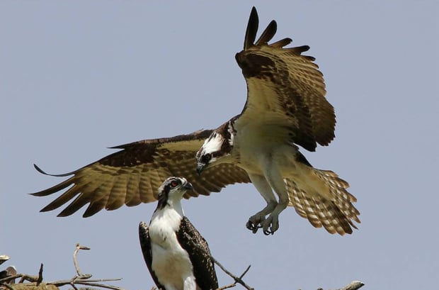 Breeding Bird Atlas Osprey