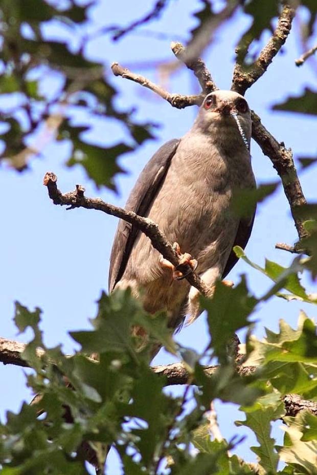 Breeding Bird Atlas - Mississippi Kite