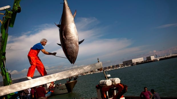 This photo taken on April 25, 2011, shows an Atlantic bluefin tuna being lifted by a crane during the opening of the season for tuna fishing in the port of Barbate, Cadiz province, southern Spain.