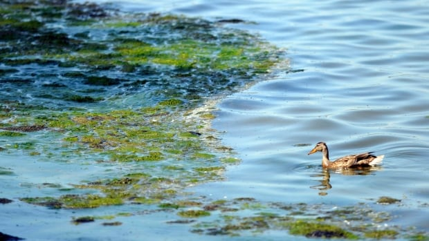 A duck swims in Lake Michigan's Green Bay near an accumulation of algae. The bay is one of the many bodies of water that have developed dead zones, areas where fertilizer and wastewater runoff has created excessive levels of nutrients that build up microbes but deprive marine life of oxygen. A new study has found that global warming is a making the problem of dead zones worse.