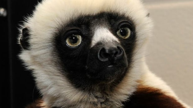 Zoboomafoo Puppet Jovian, the lemur from...