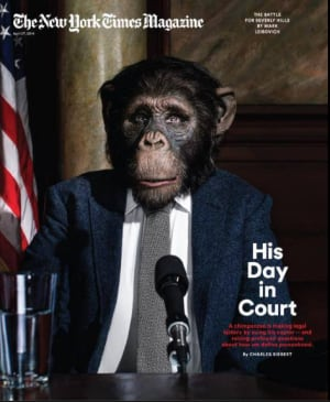 nyt-mag-chimpanzee