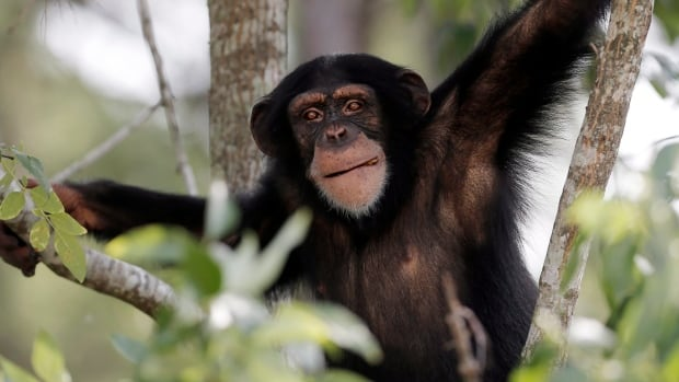 A U.S. animal rights group is currently trying to get a New York court to recognize chimps as legal persons so they can't be held in captivity by private owners.