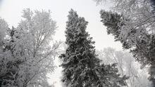 Hoarfrost on trees, Yellowknife