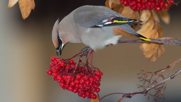 A Bohemian waxwing eats berries in Whitehorse. As berries are starting to ferment following a frost, Environment Yukon is asking people to bring birds they find drunk or unconscious to its animal health unit near the Whitehorse airport so they can sober up safely.