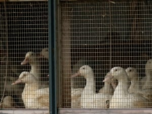 Ducks in cage