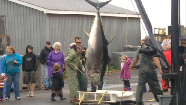 A recent tuna landing in P.E.I