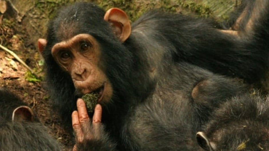 Chimp uses a moss sponge to take in water.  Catherine Hobaiter