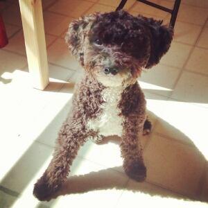 Poochie the miniature poodle