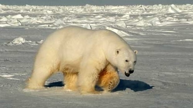 A male polar bear approaches biologists on the Beaufort Sea off Alaska in 2005. Groups responsible for monitoring polar bear populations in the U.S. and Canadian Beaufort Sea are hoping to do an aerial survey over two years starting in 2017. The last time a co-ordinated U.S.- Canada survey was done on Beaufort Sea polar bears was in 2004-2005.