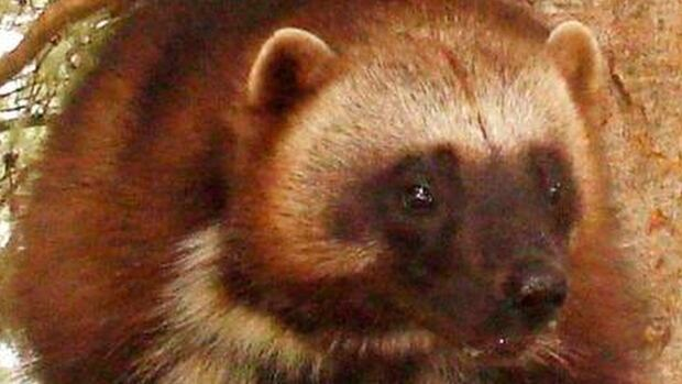 The Committee on the Status of Endangered Wildlife in Canada considers the wolverine to be a species of special concern.