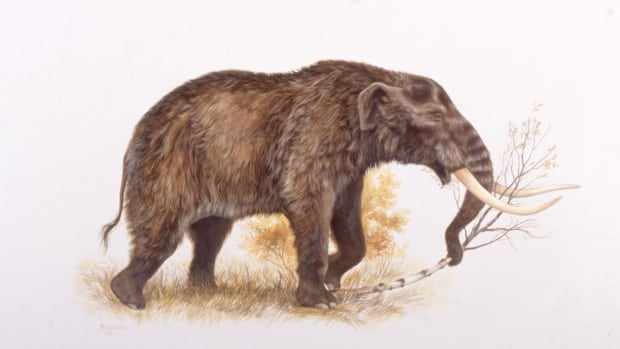 An illustration showing what a mastodon would have looked like. New research indicates the ice age mammals disappeared from northern Canada long before humans crossed the Bering land bridge.
