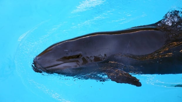 False killer whale Chester was rescued off the coast of Tofino, B.C. and is now residing at the Vancouver Aquarium.
