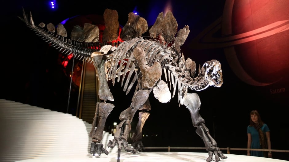 A member of staff from London's Natural History Museum poses next to a nearly complete Stegosaurus skeleton in 2014. Large, armoured dinosaurs like Stegosaurus sported weaponized tails.